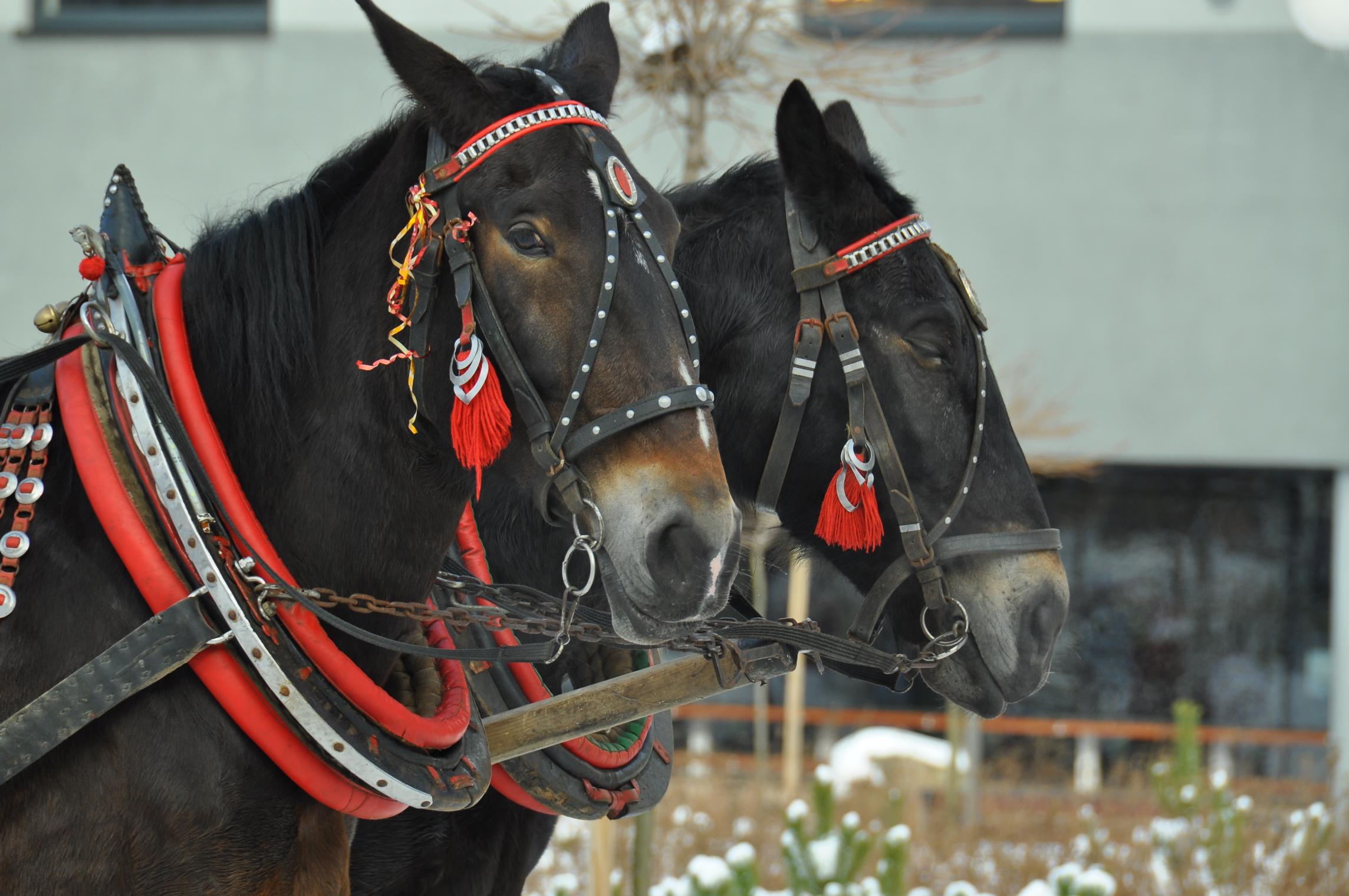 konie w wiśle